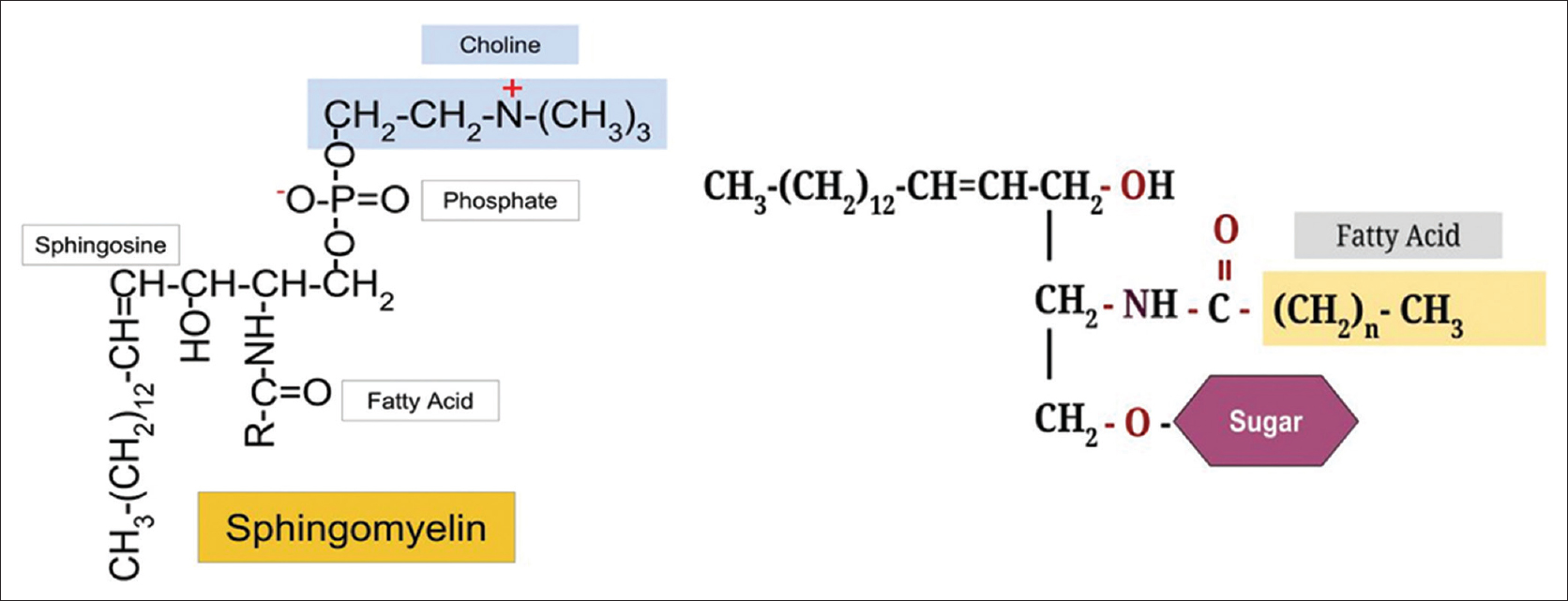 Figure 2: Left: Sphingomyelin is a sphingolipid with a phosphocholine headgroup. Sphingosine is an amino alcohol with 18 C atoms, 2 hydroxyl groups, one amino group, and one C=C double bond in the trans configuration. Right: Cerebroside is a glycosphingolipid with a sugar residue (galactose or glucose) attached to sphingosine through a glycosidic bond